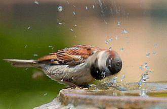 Ave bañándose