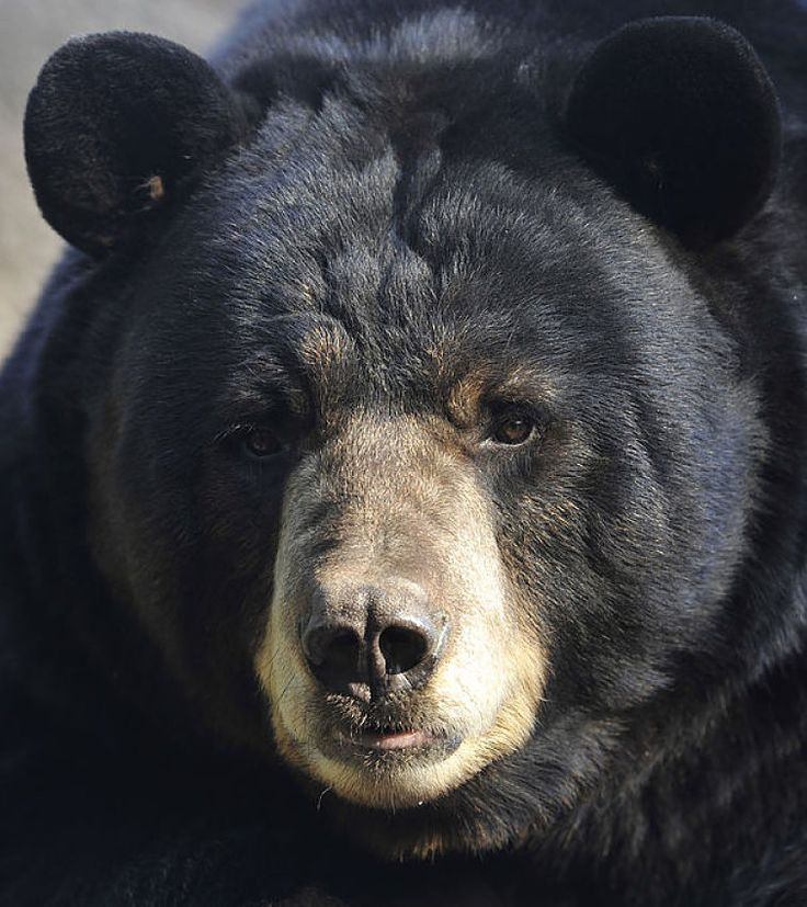 very handsome black bear close-up