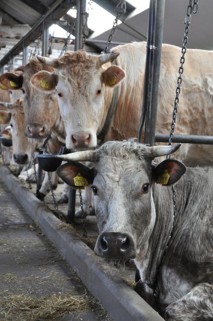Koe 2 - Cow II ©gk24