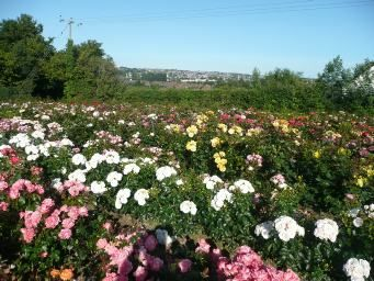 The Breeding Process Rose field in the summer