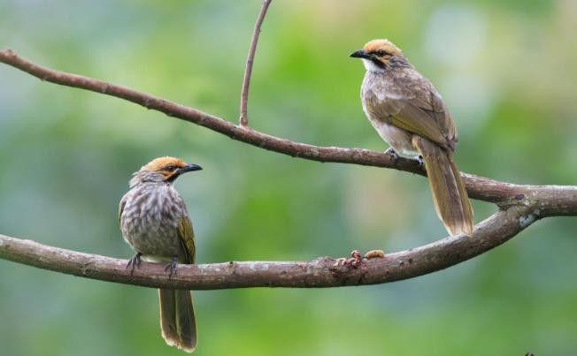Download Suara Burung Cucak Rowo Gacor Hewan Piaraan Burung
