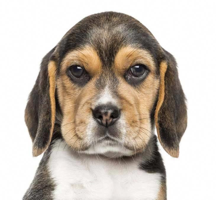 Beagle Names Unique Ideas For Your Male Or Female Dog Cute