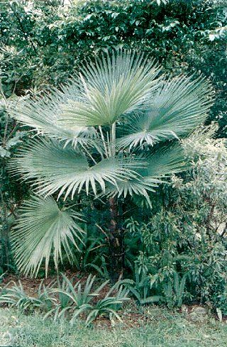 50 Best Cold Hardy Palm Trees Images On Pinterest