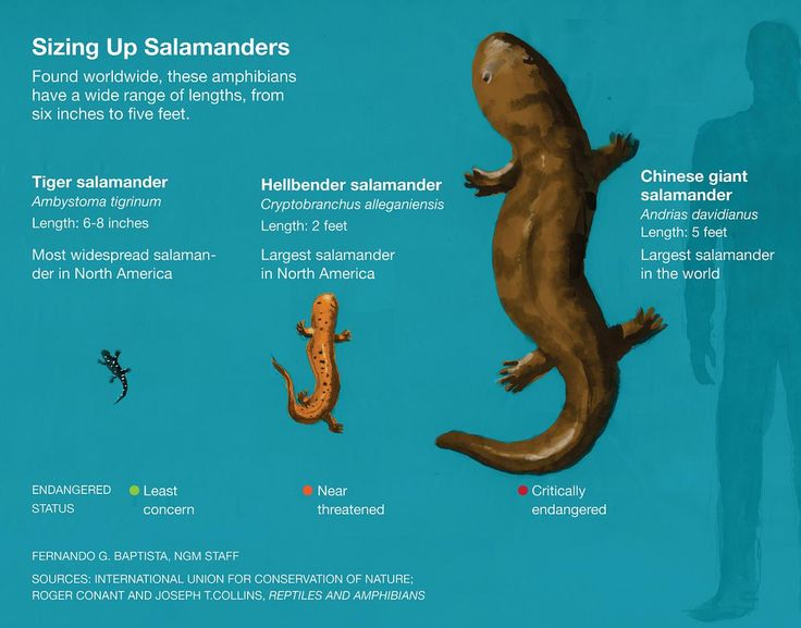 chinese giant salamander essay Physical features the chinese giant salamander is the largest living amphibian in the world they can reach lengths of up to 59 feet or 18 meters.