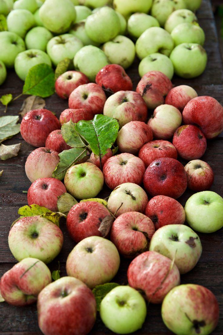 Урожай домашних яблок PH:Irina Maysova/Ирина Майсова/
