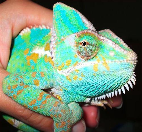 131 Best Images About Chameleons On Pinterest