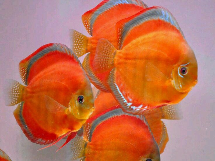 17 best images about guppy aquarium on pinterest live for Petsmart fish guarantee