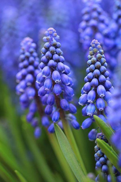 Blauwe druifjes. Prachtig in het voorjaar. Toepasbaar in de plantenbak in de voortuin.
