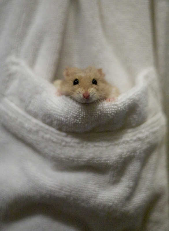 Best How Cute Are Hamsters Images On Pinterest Adorable - Hamster bartenders cutest thing youve ever seen