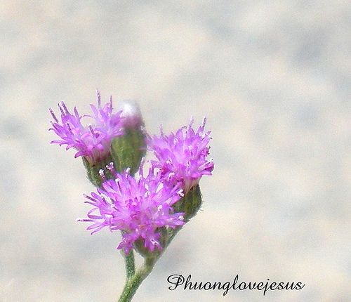 Find email address contact info tool. Reverse trace a particular email address or person's name. http://howtogetridofcoldsores.us/ Vernonia cinerea, Cyanthillium cinereum, Little Iron Wees 's flowers close up ...Chụp gần hoa Cúc dại tím , Bạch đầu tro, Bạch đầu ông ...