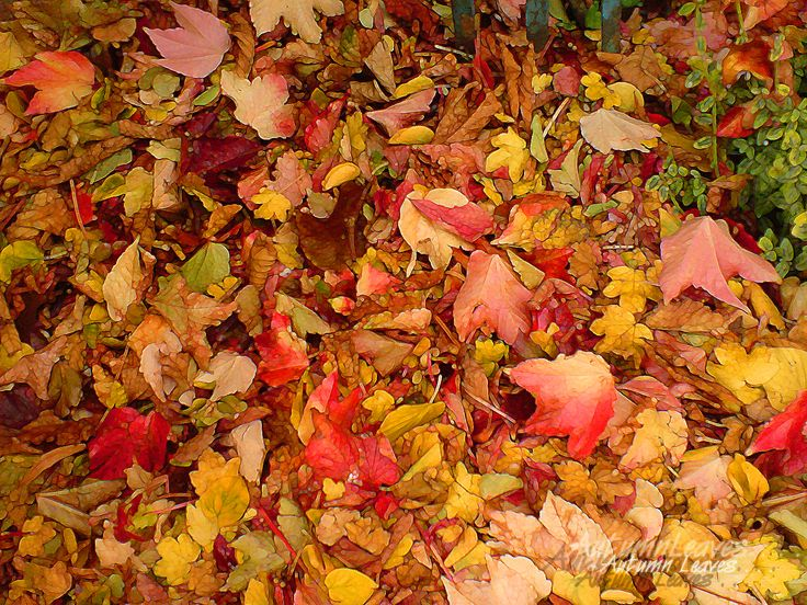Beautiful Autumn Leaves, in big multi-coloured crunchy piles.