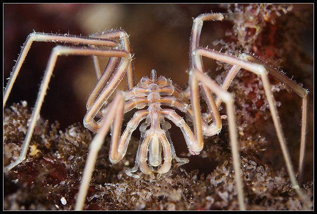Sea spider posing by Alexander Semenov, via Flickr