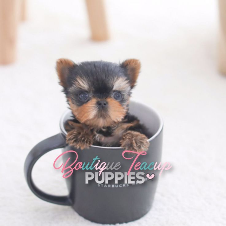 Pocket Puppies & Cute Teacup Dogs For Sale     Luxury Quality Puppies with a History of Excellent Health  Vet Check on all of our puppies prior to leaving our breeders care  A Video is listed on EVERY puppy's page for you to see how socialized