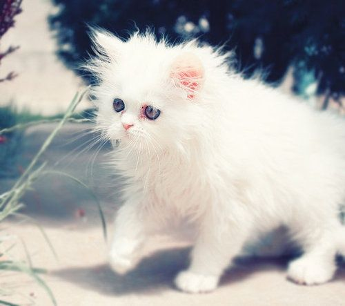 "white persian kitten ""Biscuit"""