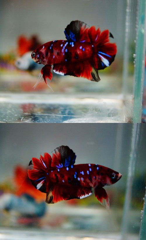172 best images about beautiful beta fish on pinterest for Betta fish tank temperature