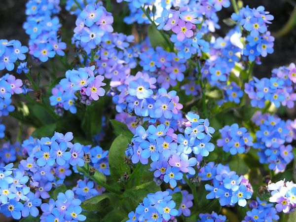 Buy forget-me-not Myosotis sylvatica: Delivery by Waitrose Garden in association with Crocus