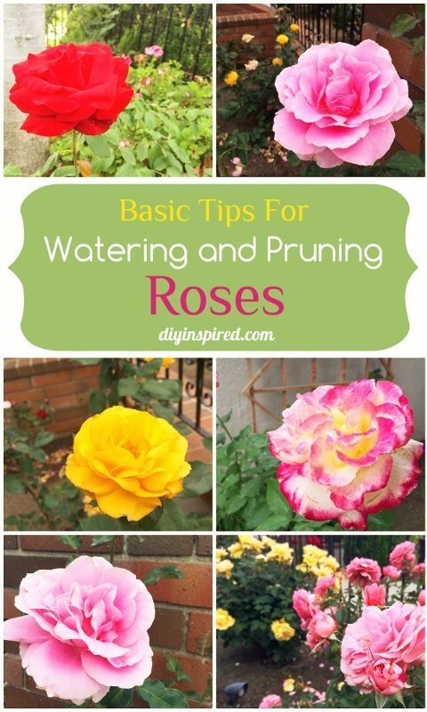 Basic Tips for Watering and Pruning Roses. Absolutely love growing roses, some really great tips in this post!