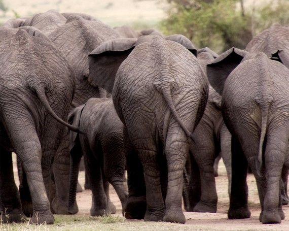 Elephant Ass Ebony