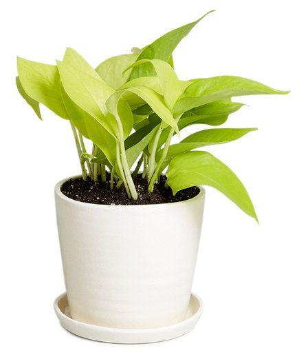Best 25 golden pothos ideas on pinterest golden pothos plant monstera deliciosa and indoor - Indoor desk plants ...