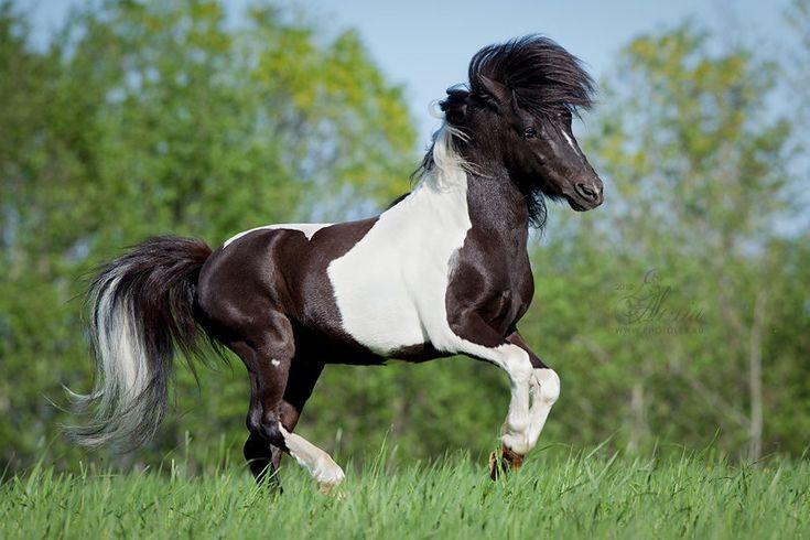 Shetland Pony stallion Рокки Бальбоа (Rocky Balboa)