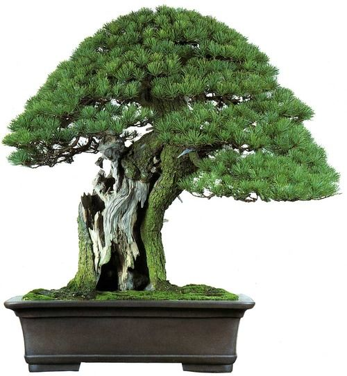 Top 25 best pine bonsai ideas on pinterest bonsai for Famous bonsai trees