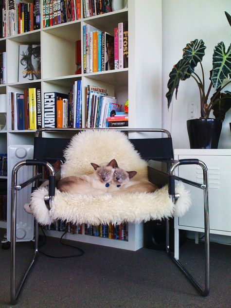 Our Tonkinese cats asleep together on their favourite chair.  Repinned by Secret Design Studio, Melbourne. www.secretdesignstudio.com