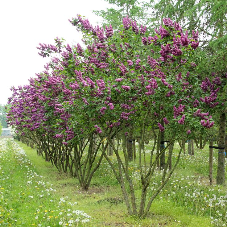 Syringa vulgaris 'Charles Joly' multi-stem umbrella
