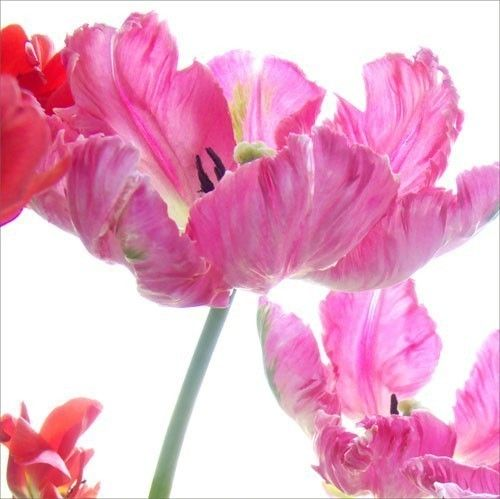 Tulip Photo Card  Pink Parrot Tulips Blank Card by JudyStalus