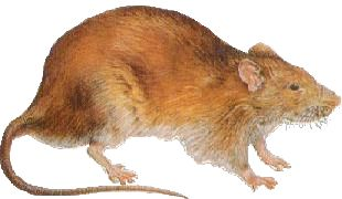 Some people like rats and keep them as pets. Pet rats are smart and social. They can learn tricks and will come when called. Many people do not like rats because they chew up wires, get into food and can carry diseases. Here's a free online quiz on rats for children, go to this page: http://easyscienceforkids.com/fun-rats-quiz-free-online-science-quizzes-for-kids-with-interactive-score-game/