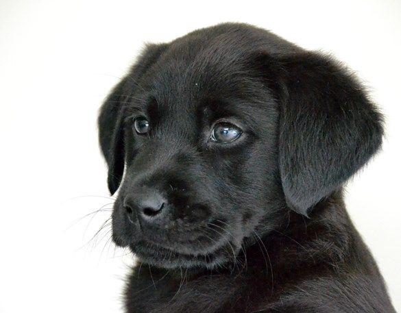 Wat een schatje! Dit is Amy en zij is te adopteren voor 7.50 per maand. Zo steun je haar opleiding en kun je haar belevenissen en ontwikkeling van pup tot geleidehond volgen.