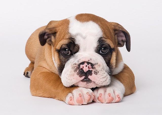 DeFur, English Bulldog, 8 weeks - shot by Piotr M. on Flickr   <3