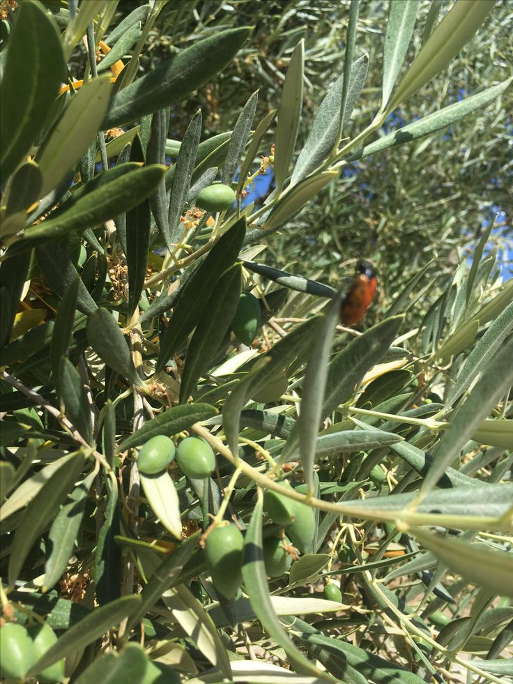 Very hot summer, but the olives are prepared... look to the small ladybug a wonderful guardian against other insects... #evoo #organic #premium