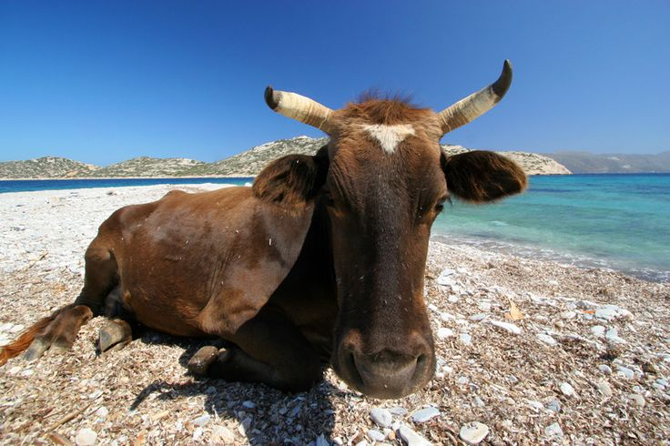 Travel Photography Greece, Cow on the Beach