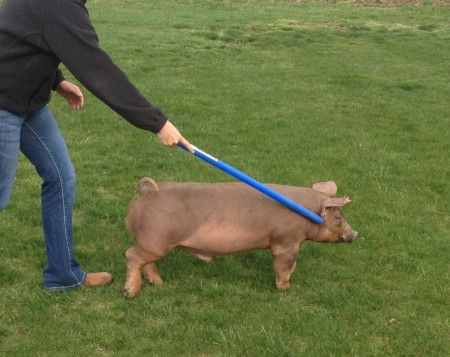 Training pigs to walk.