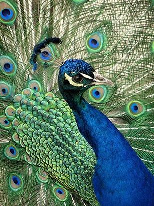 Pure-India-Blue-Peacock [Pavo cristatus] - Viernes de Fotografía - Pavo Real