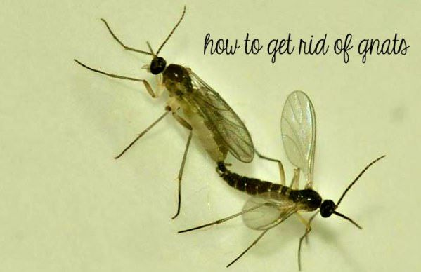 Home Remedies For Gnats In Kitchen
