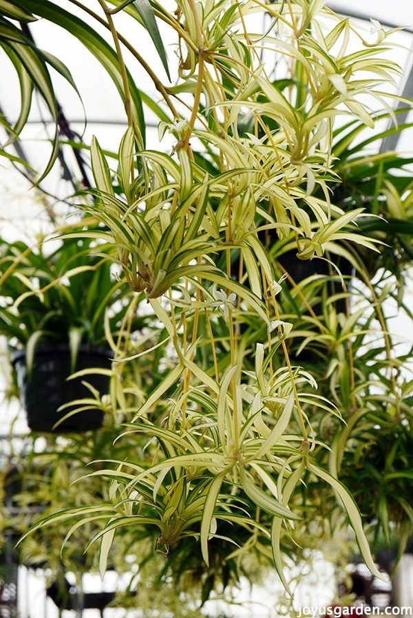 1000 ideas about spider plants on pinterest hanging air plants hanging planters and house plants. Black Bedroom Furniture Sets. Home Design Ideas