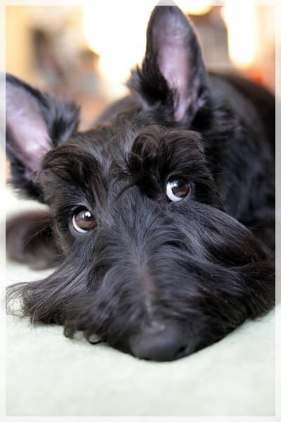 Sweet Scottie Dog Black Scottish Terrier Dogs