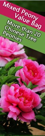 Professional website for supplying high quality peony