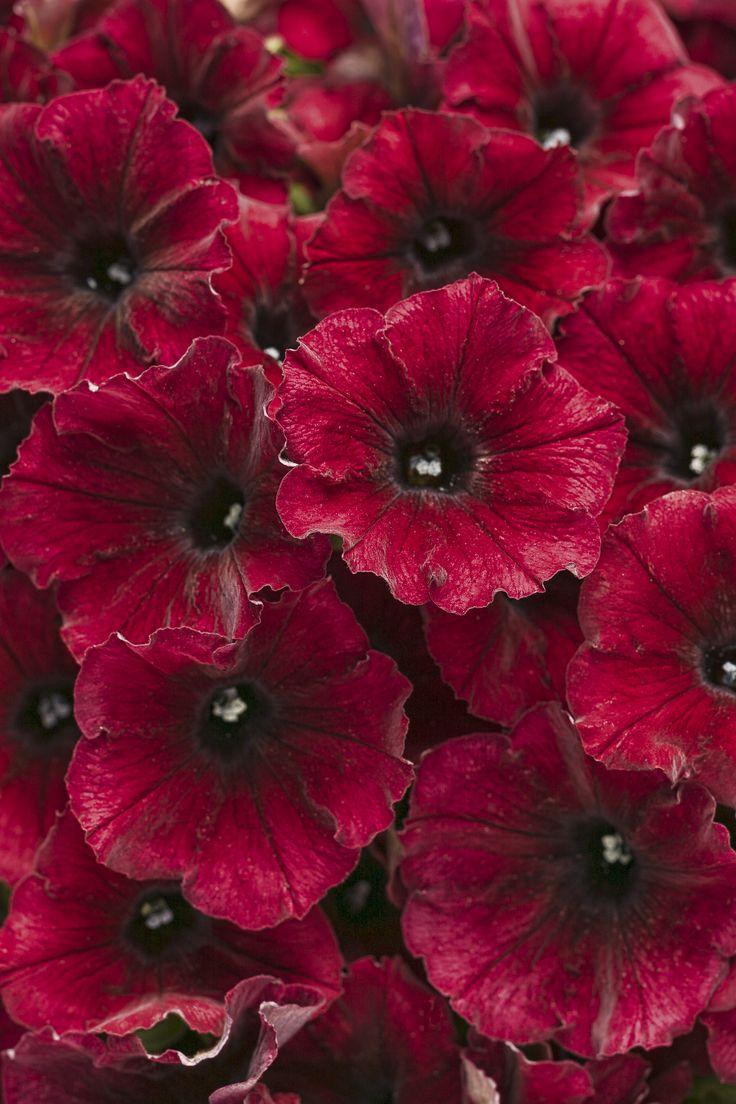 Supertunia® Black Cherry - Petunia hybrid - bought at #KoopmanLumber for Judy's blue pots