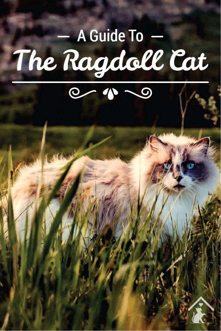 Ragdoll cats are quirky, beautiful and playful! Click the pin to read our guide. #ragdoll #ragdollkittens #ragdollcats