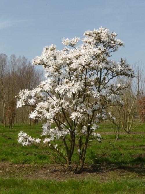 Magnolia stellata #tree #multitrunk #multistem www.vdberk.co.uk