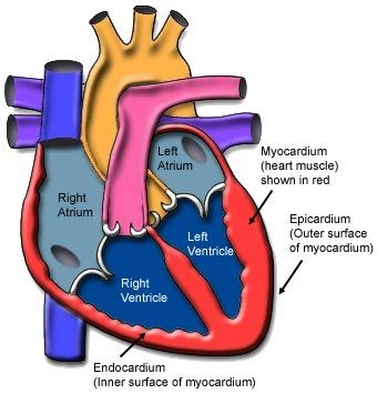 myo meaning 'muscle'. myocardium is the muscle of the heart. endo, Muscles