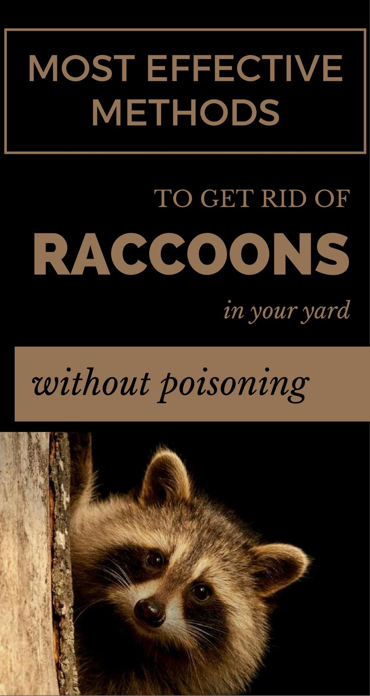 Most Effective Methods to Get Rid of Raccoons in Your Yard