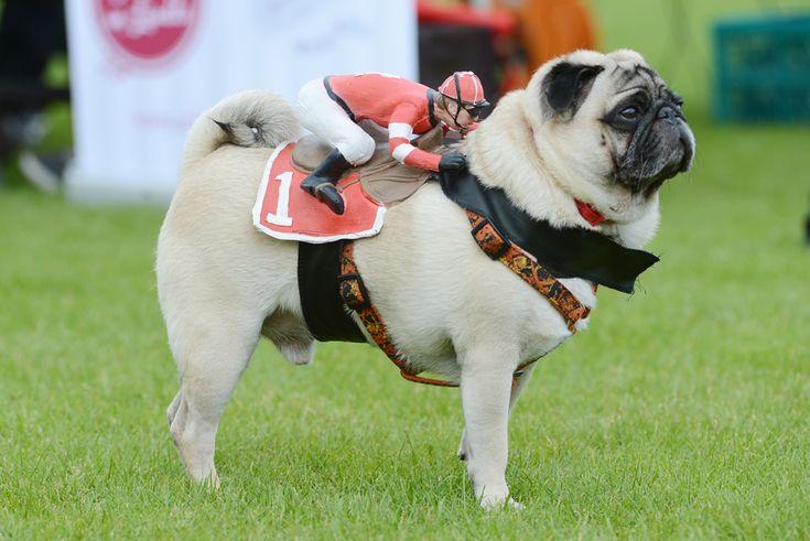 Un câine din rasa #pug ce are pe spate un jockeu de jucărie participă la o cursă de câini, în Wernau, Germania, duminică, 1 septembrie 2013. (  Franziska Kraufmann / DPA / AFP  ) - See more at: http://zoom.mediafax.ro/nature/animale-in-jurul-lumii-11306168#sthash.Mp2O63f6.dpuf