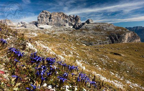 Dolomitské hořce / gentian in Dolomites