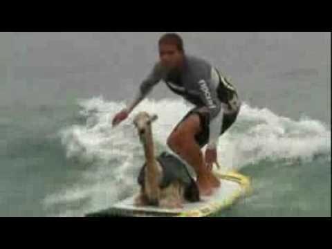 Cowabunga! A surfing alpaca