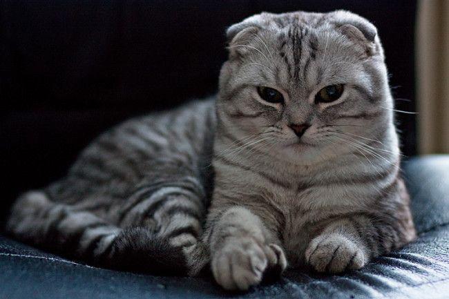 Вислоухие шотландские кошки - самые красивые кошки в мире