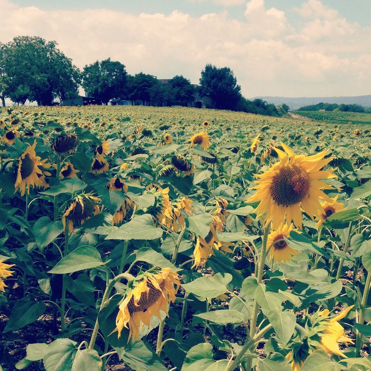 French summer sunflowers
