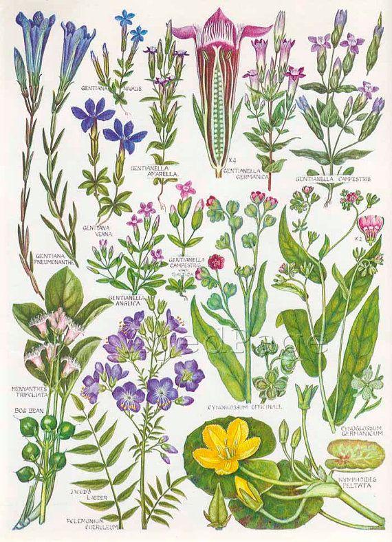 Vintage Botanical Print Wildflower Chart Art By Agedpage